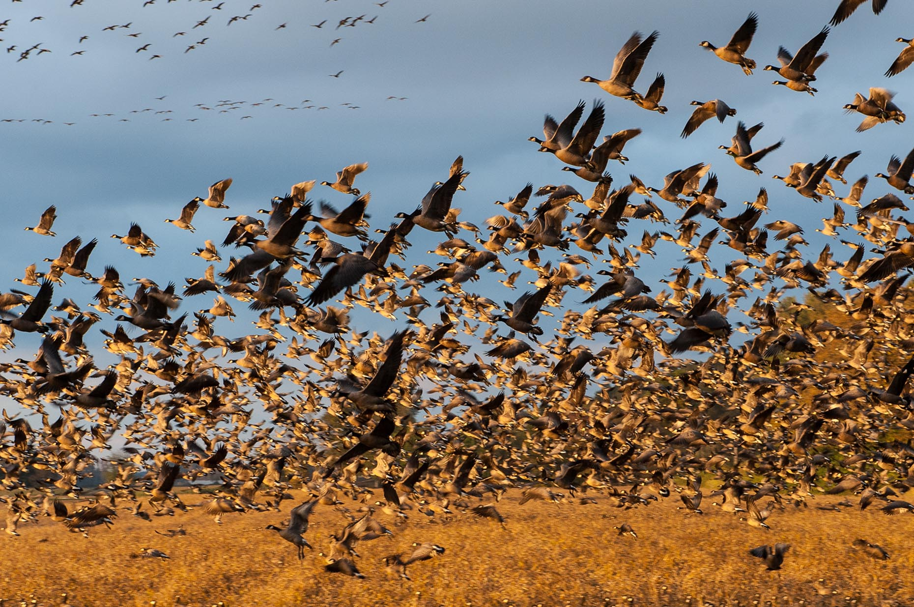 Photo of hundreds of Canadian geese taking off from field.