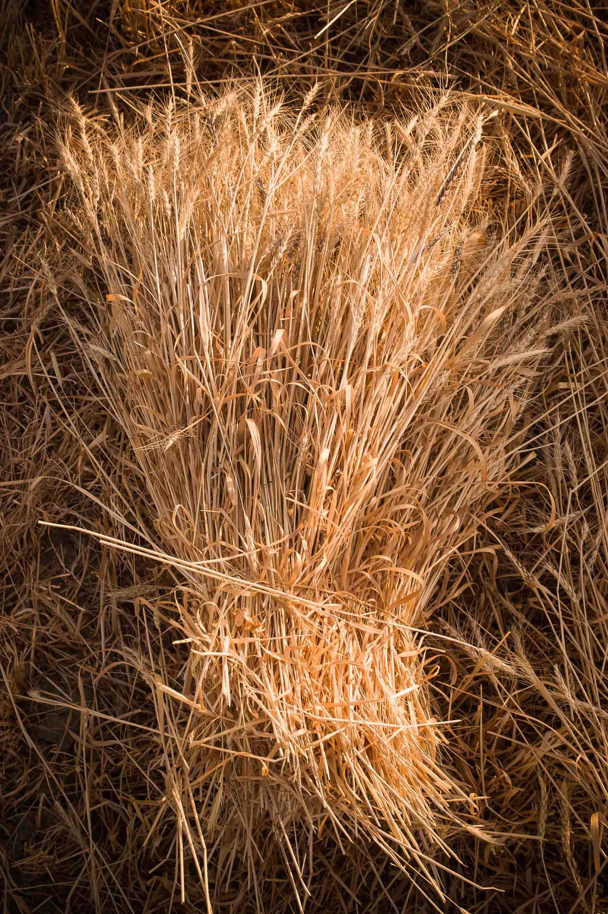 Photo of hand harvested wheat bundle in warm natural light, Van Turkey.