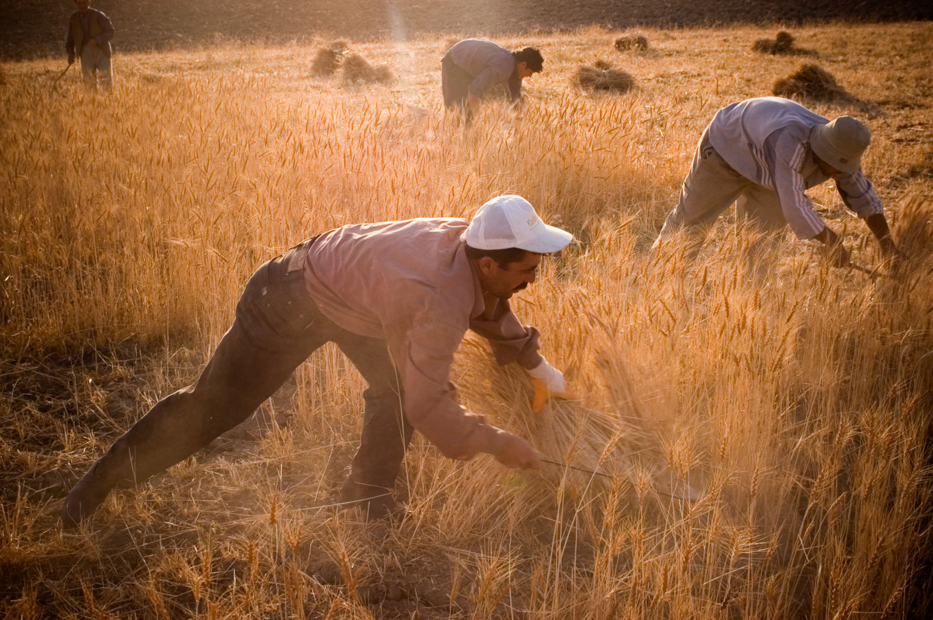 Photo of Kurdish men hand  harvesting wheat in warm afternoon sun, Van Turkey.