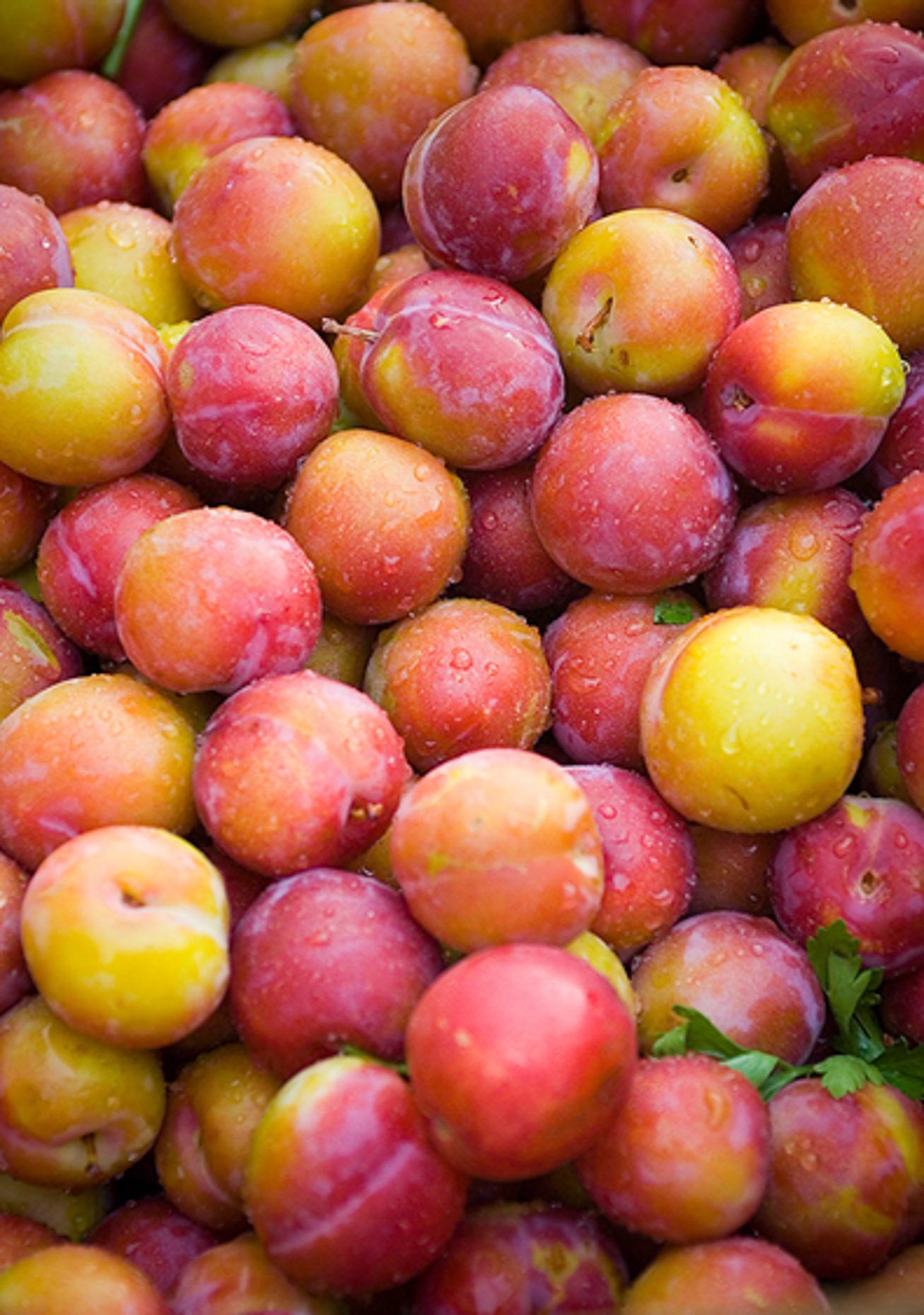 Image of harvested apricots after summer rain, Van Turkey.