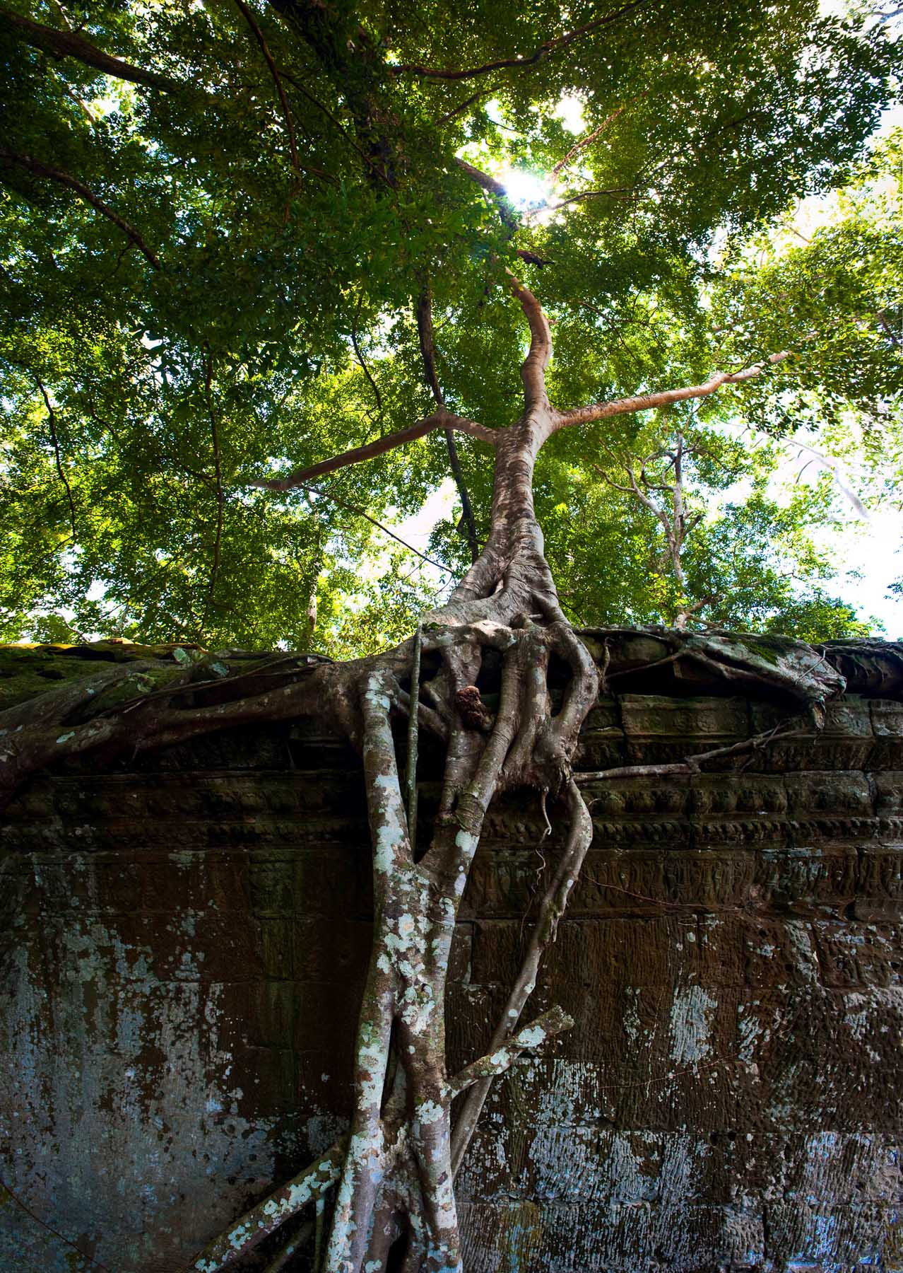 Strangler Fig on Ta Phrom temple, Siem Reap Cambodia