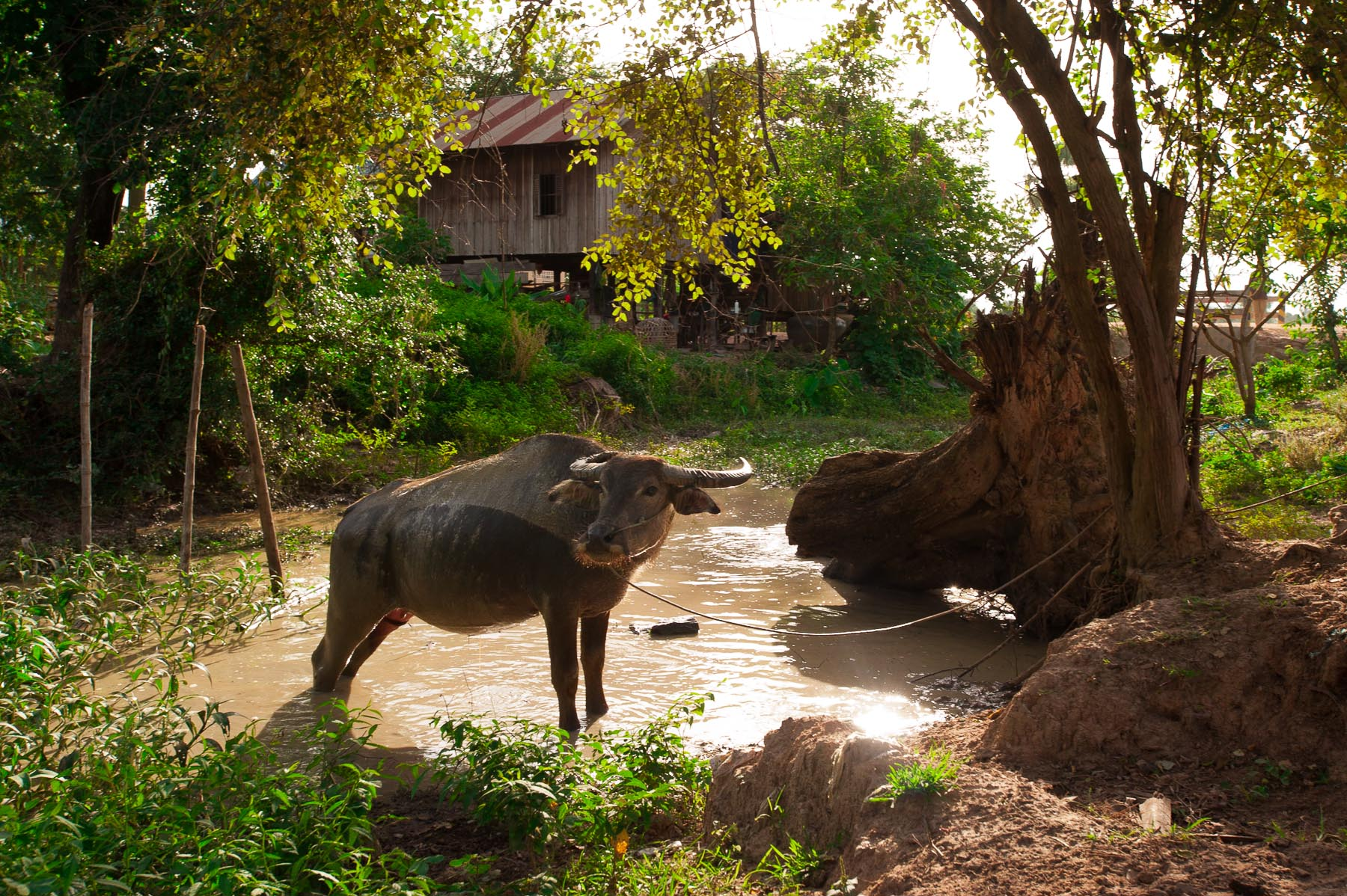 Water buffalo back lit in pond,  Pursat Cambodia.