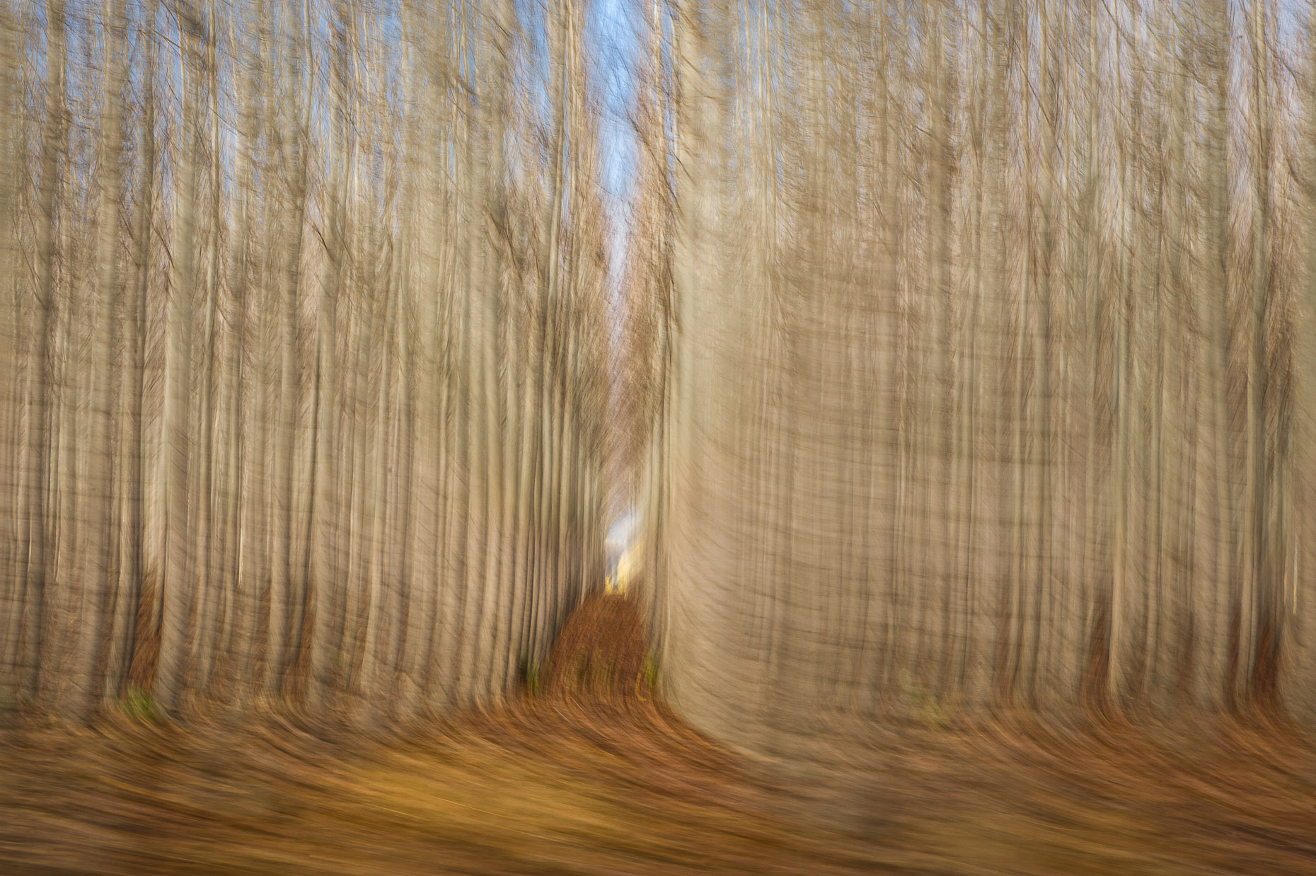 Abstract photo of repetitive poplar trees in late fall.