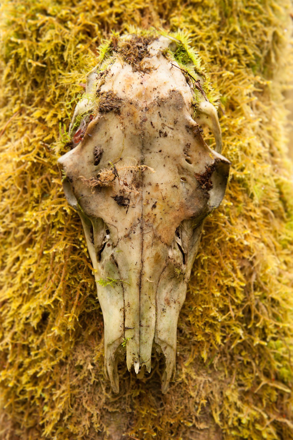 Decomposing deer skull covered in forest moss.