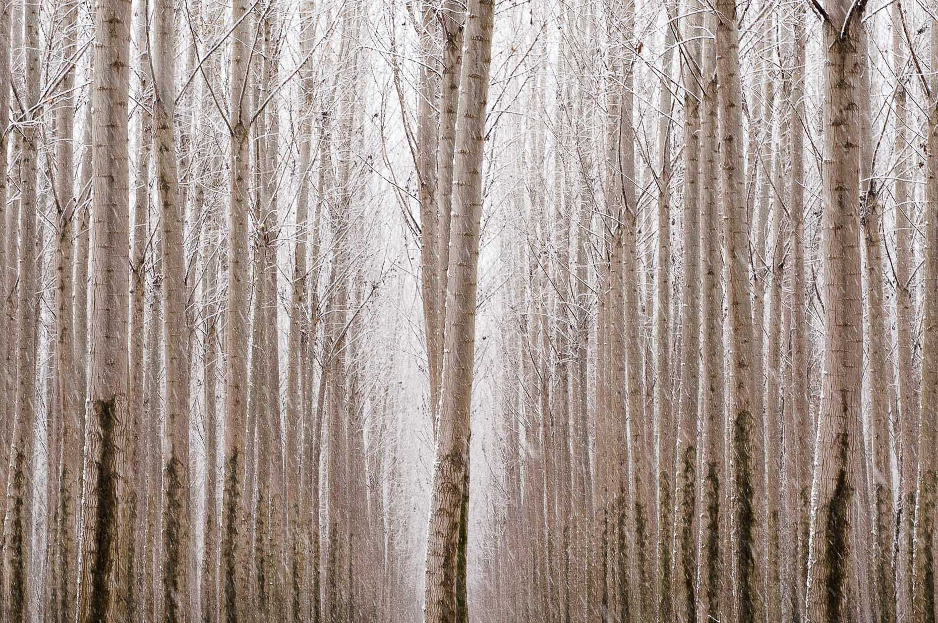 Landscape image of repeating poplar trees  in snow, Oregon.