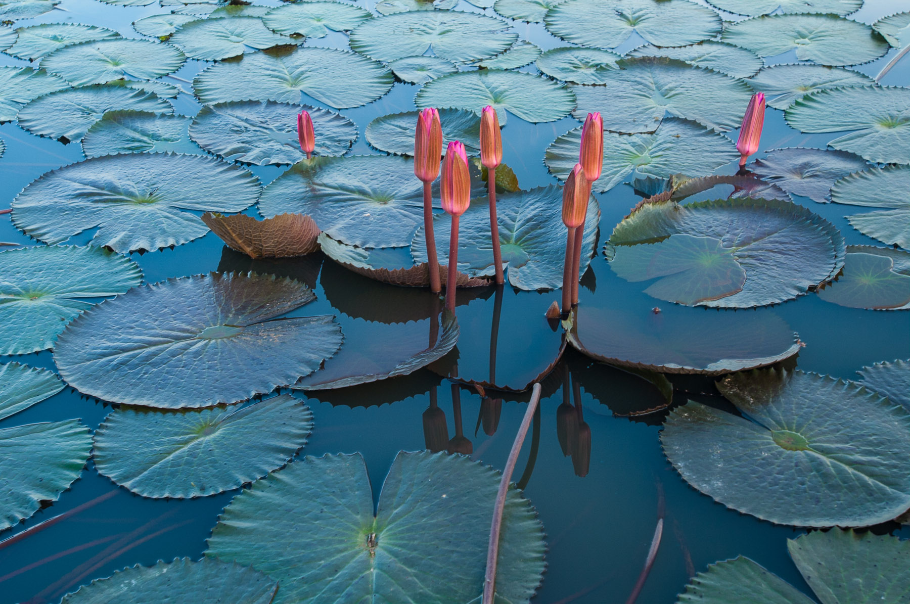 Lotus flowers on lake in Kampot, Cambodia.