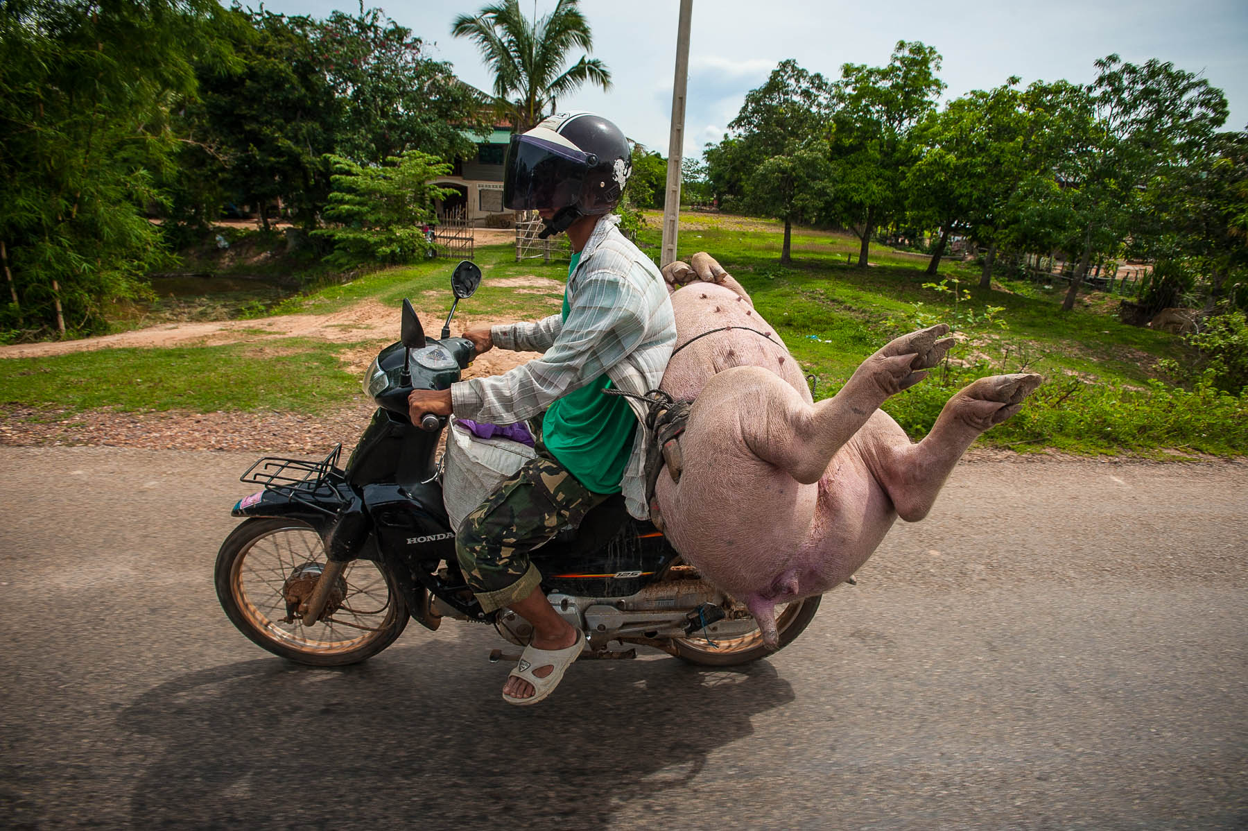 Pig riding on back of motor scooter, Phnom Penh Cambodia