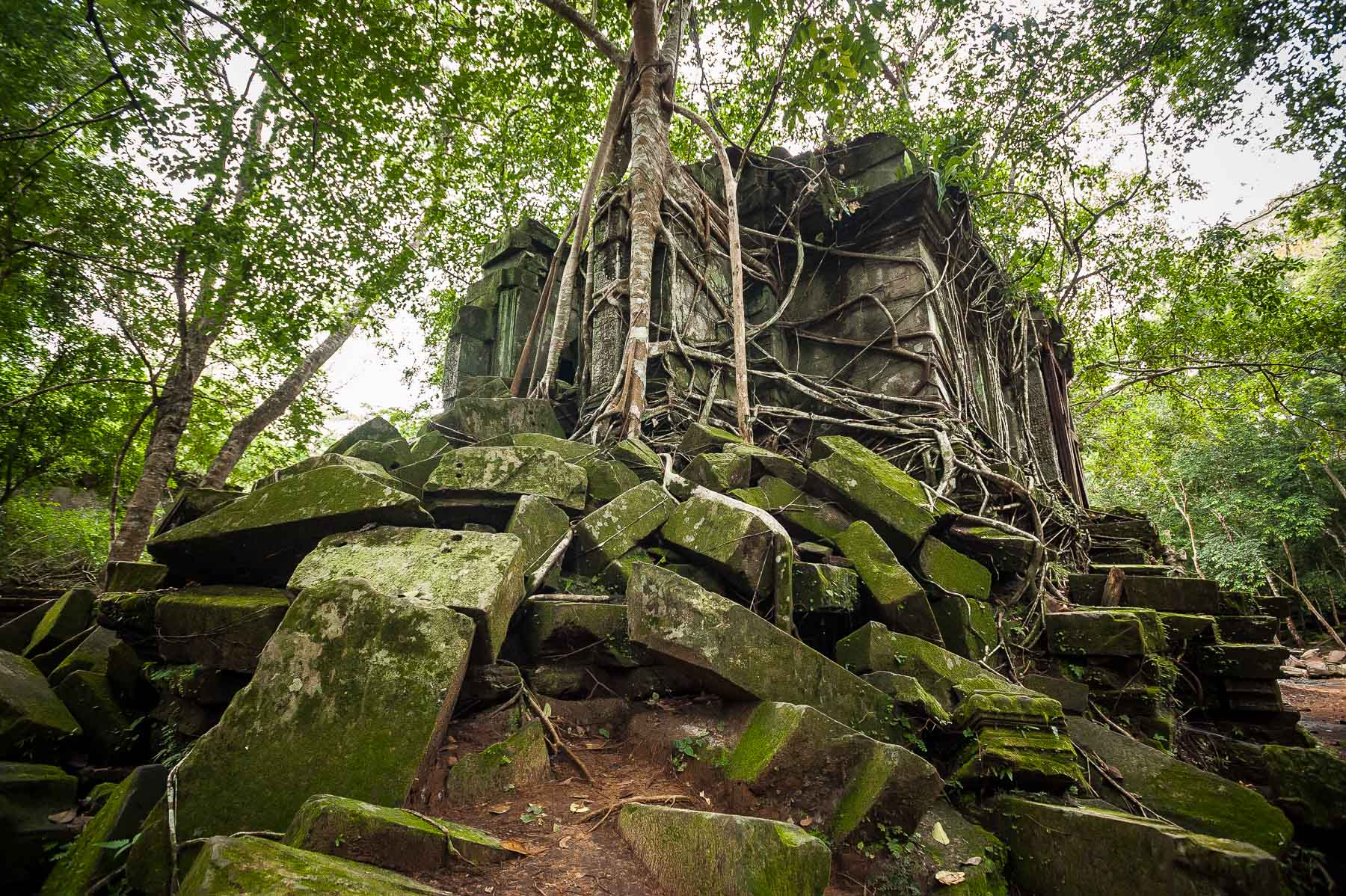 Strangler fig growing over central library structure of collapsed Ankor Wat temple of Banteay Srey, Cambodia.