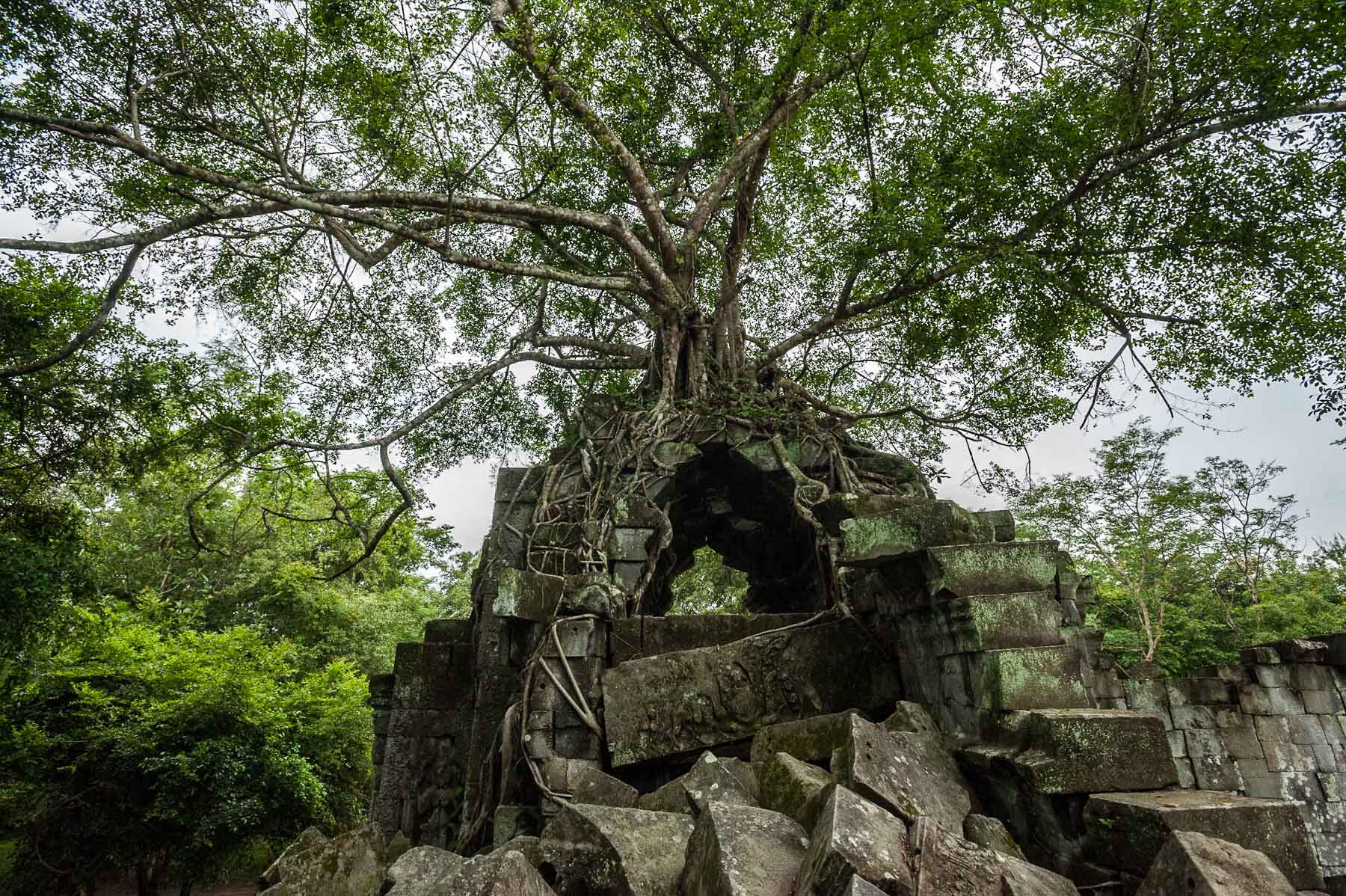 Strangler fig tree on Ankor Temple, Banteay Srey, Cambodia